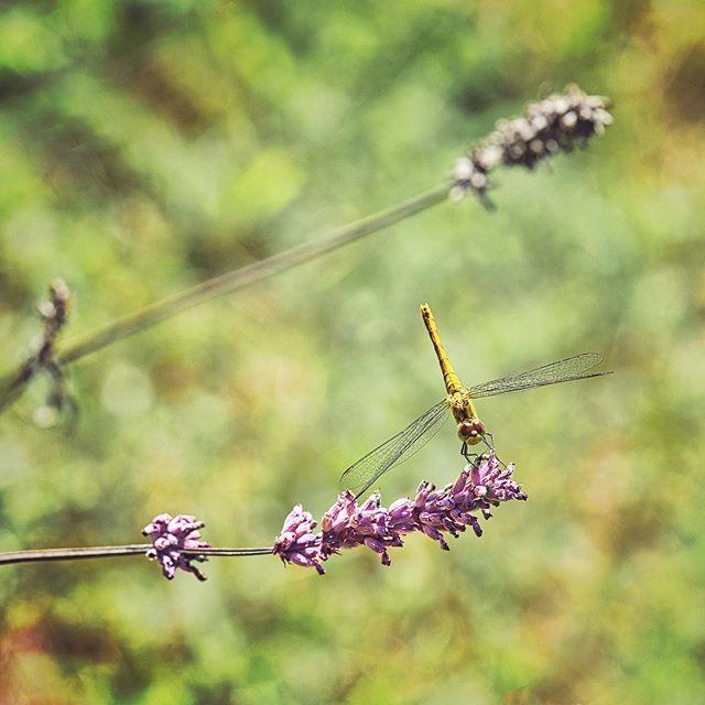 Dragonfly on some lavender. He's posing like a pro. • • • • • • #dragonfly #macro #nature #naturephotography #tuin #insects #libellen #lavendel #lavender #fujixt3 #fujifilmxseries #fujifilmbelgium #myfujifilmlegacy #green #dragonflyphotography #naturelovers #libellule #bhfyp #bug