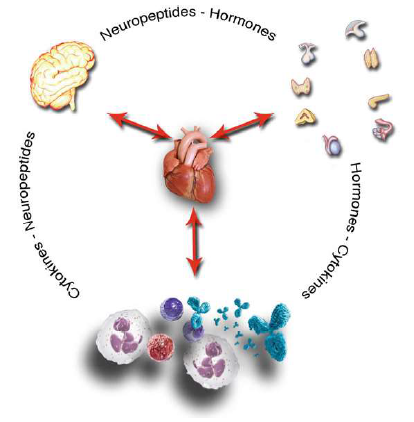 The cardiovascular system in the psychoneurological, hormonal and immune network: it receives and sends signals to the brain, to the immune, and to the endocrine system.