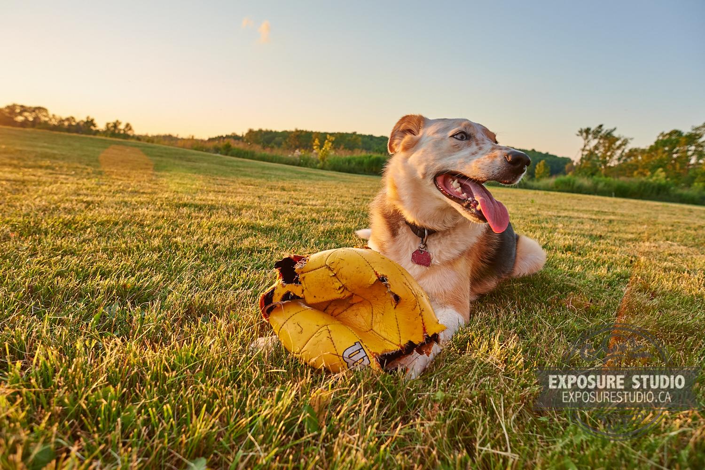 Cattle Dog Setting Sun