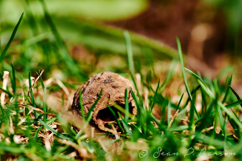 Walnut In The Grass