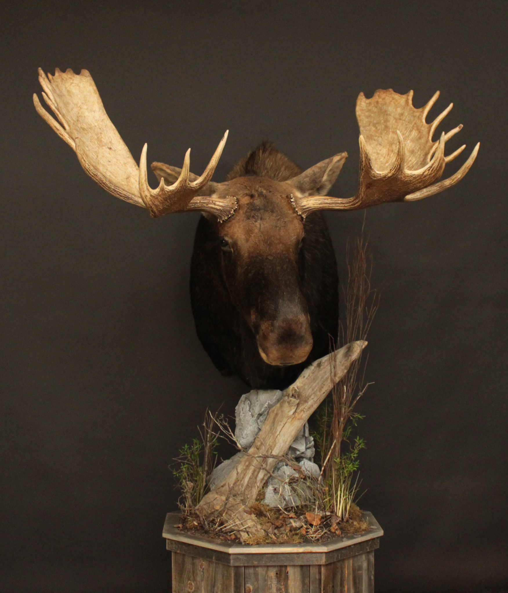Moose 1  Barn Board Base