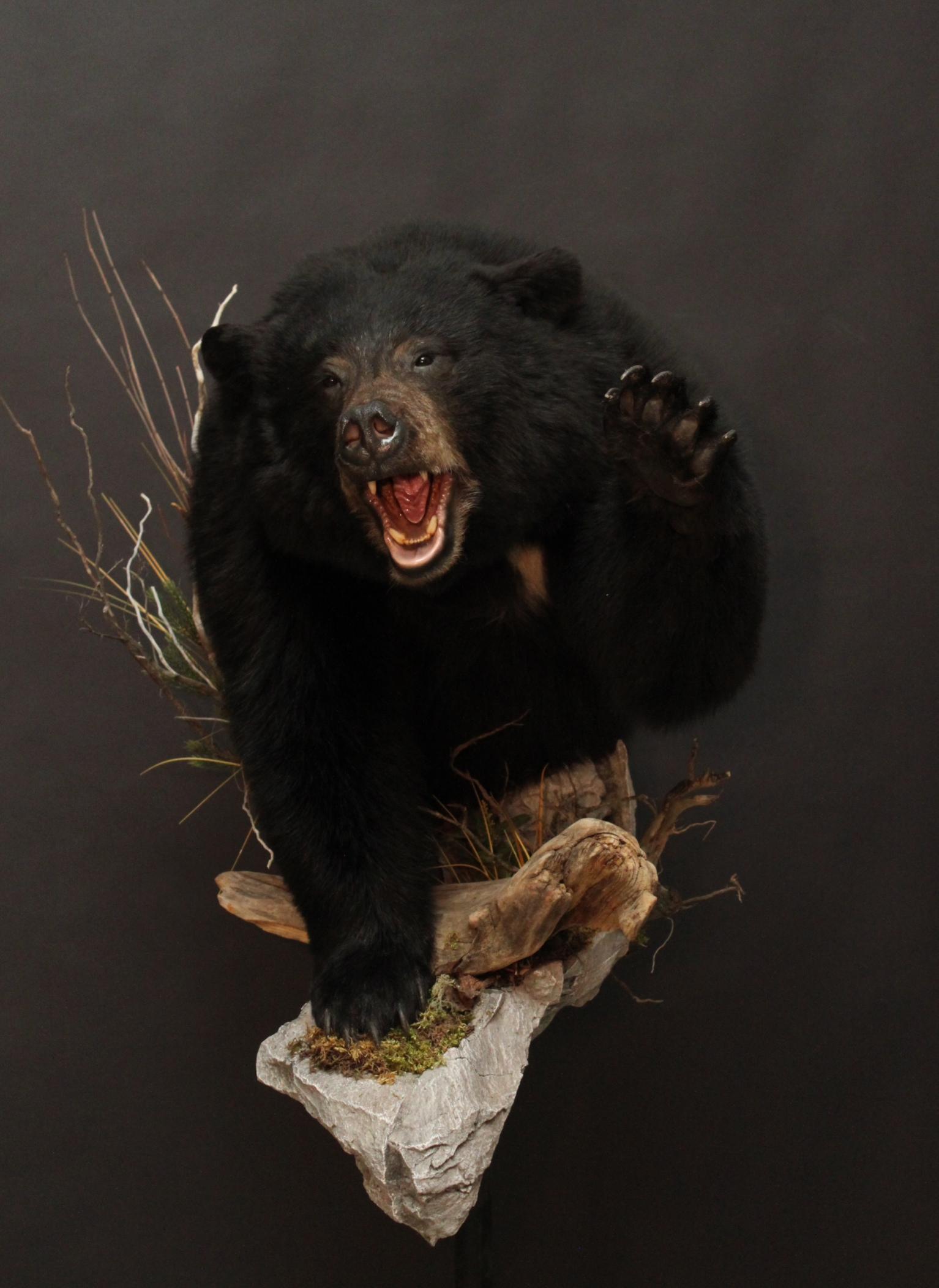 1/2 body mount, aggressive  Black Bear (2)
