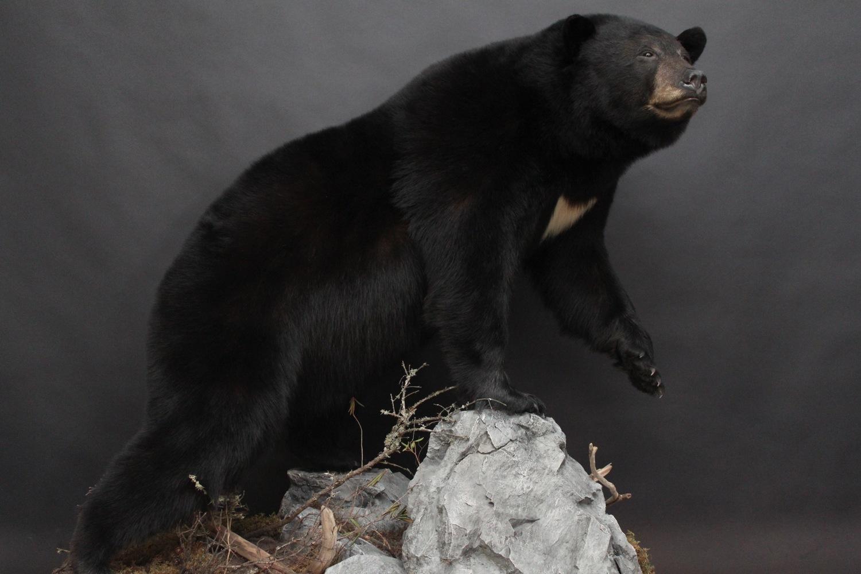 Lifesize, custom alterations  Black Bear (7)