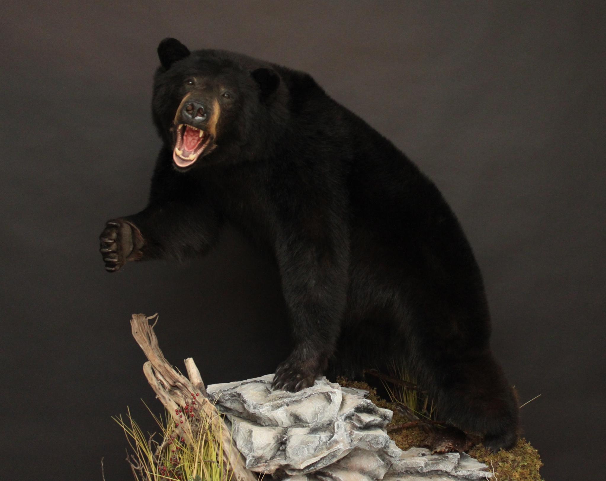 Lifesize Agressive  Black Bear (8)