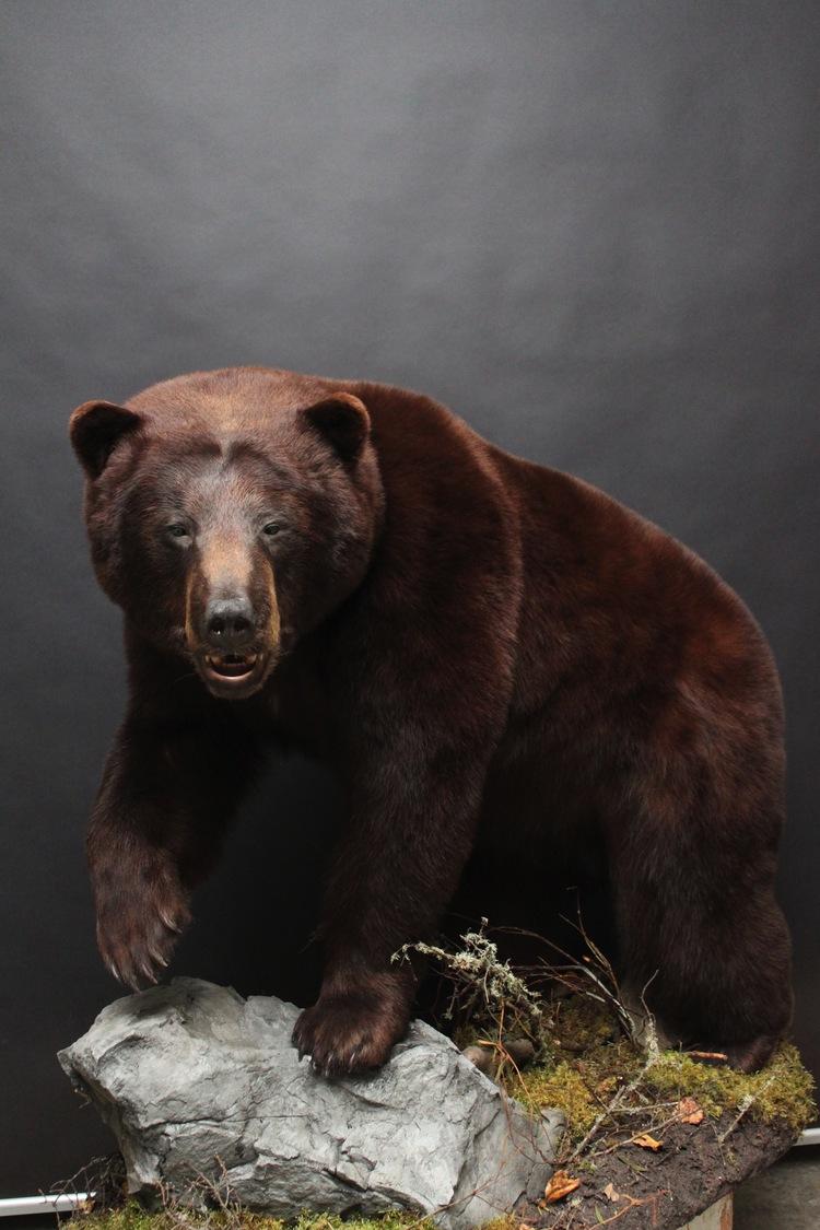 Lifesize, open mouth  Black Bear (10)