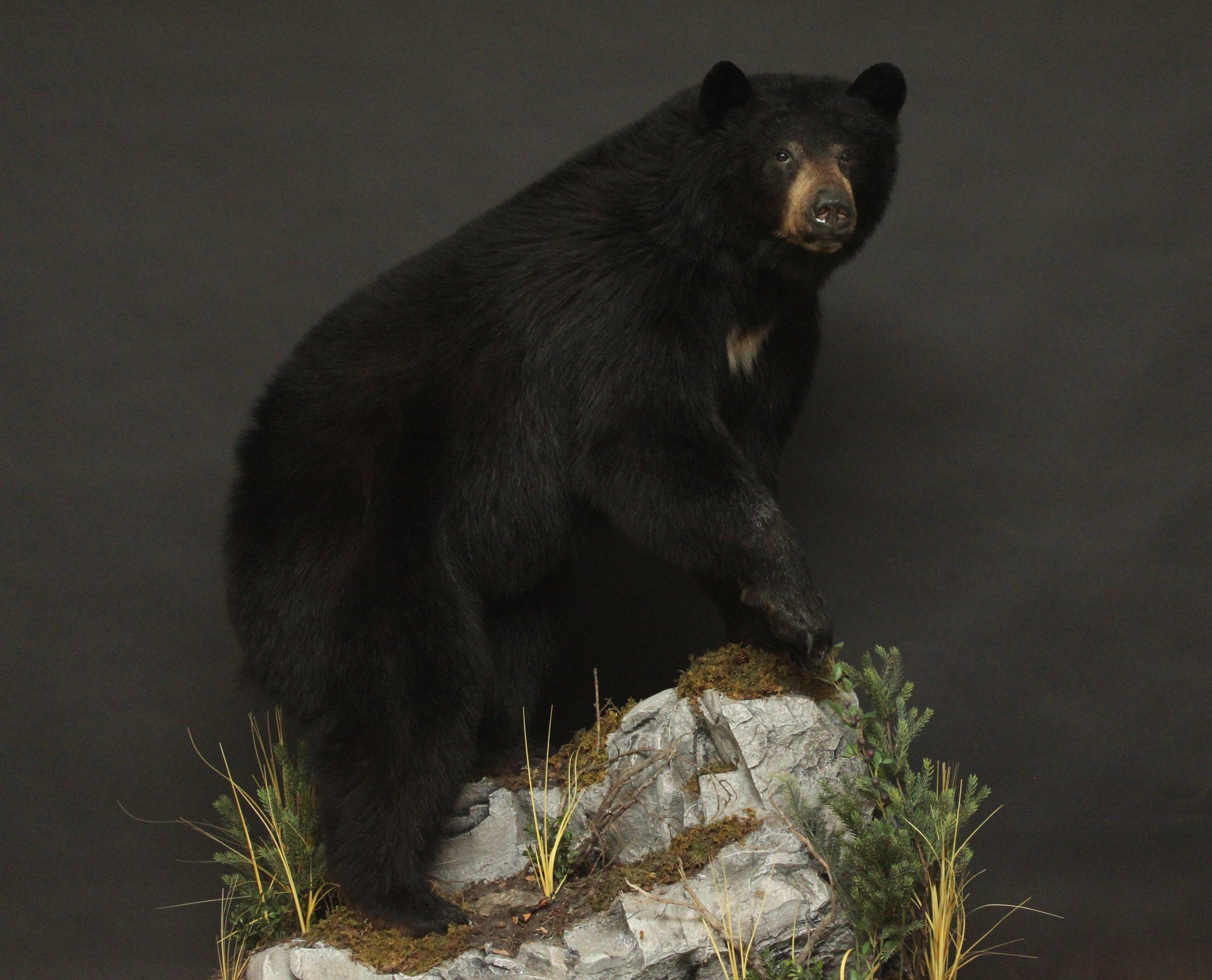 Lifesize  Black Bear (3)