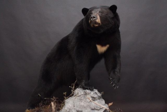 Lifesize  Black Bear (7-2)