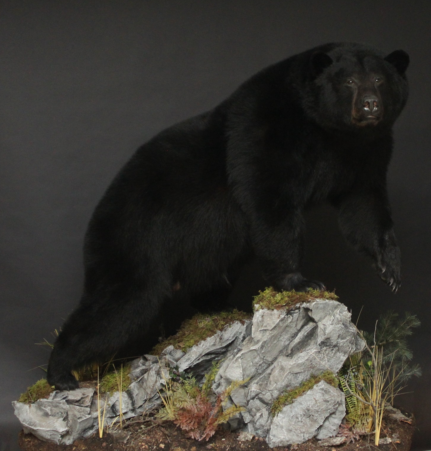 Lifesize, custom rock and moss base  Black Bear (14)