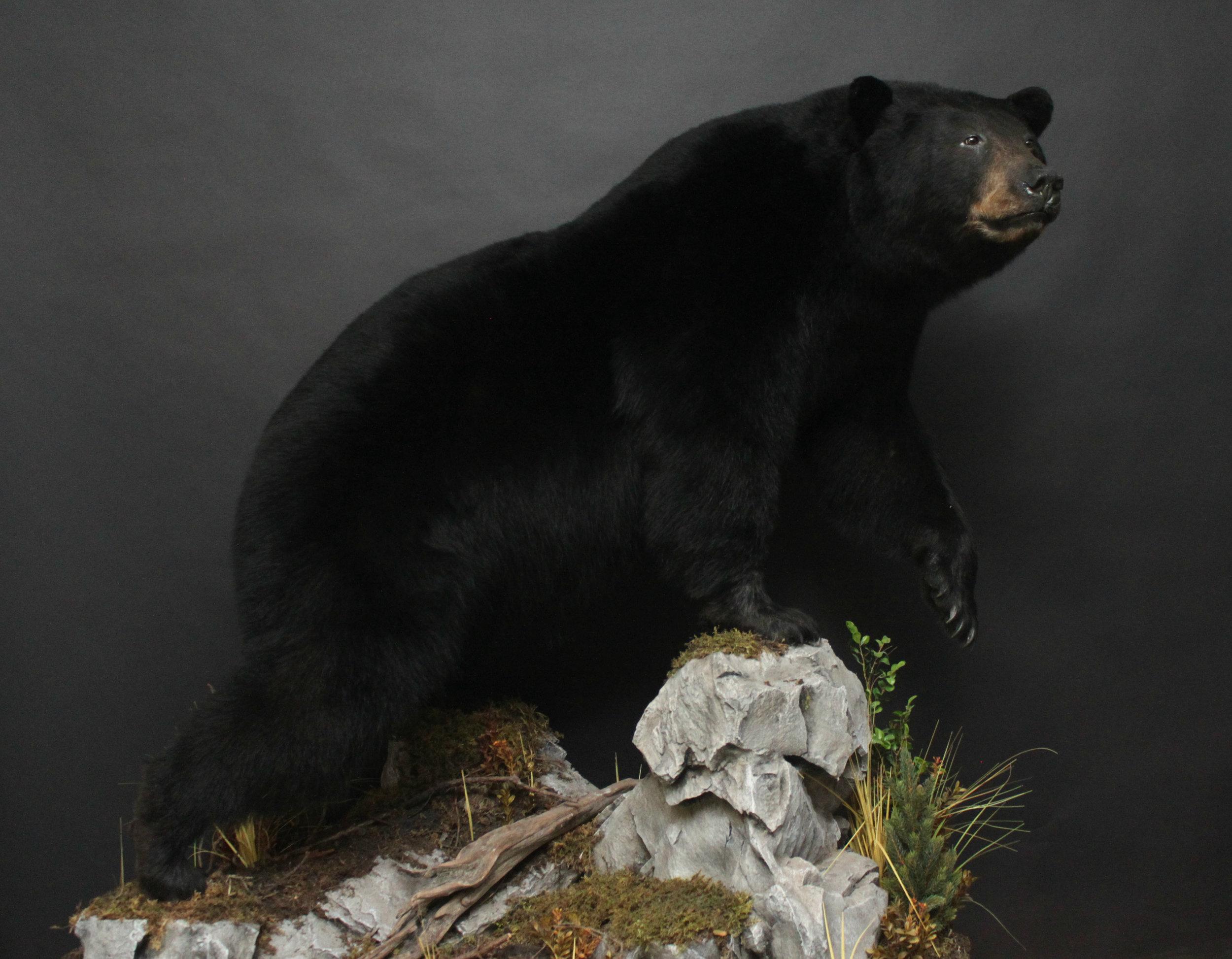 Lifesize  Black Bear (13)
