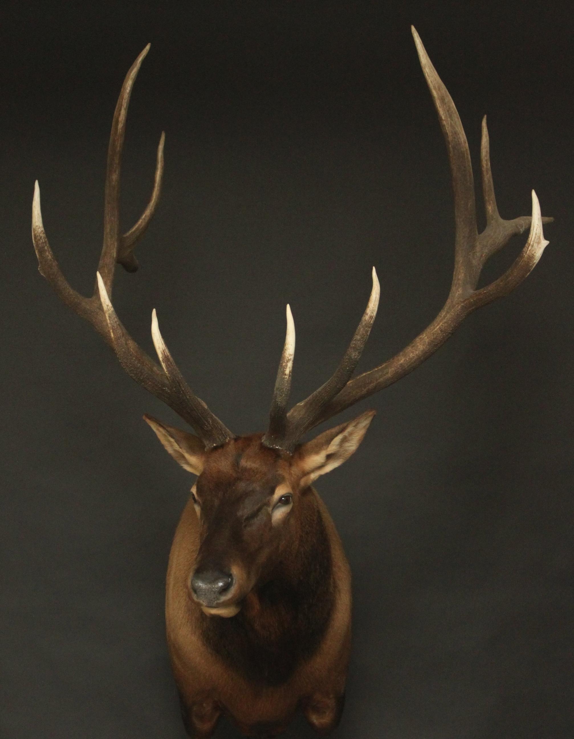 Elk 003