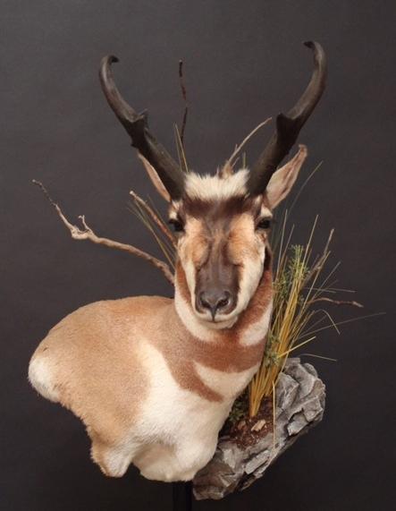 Antelope01