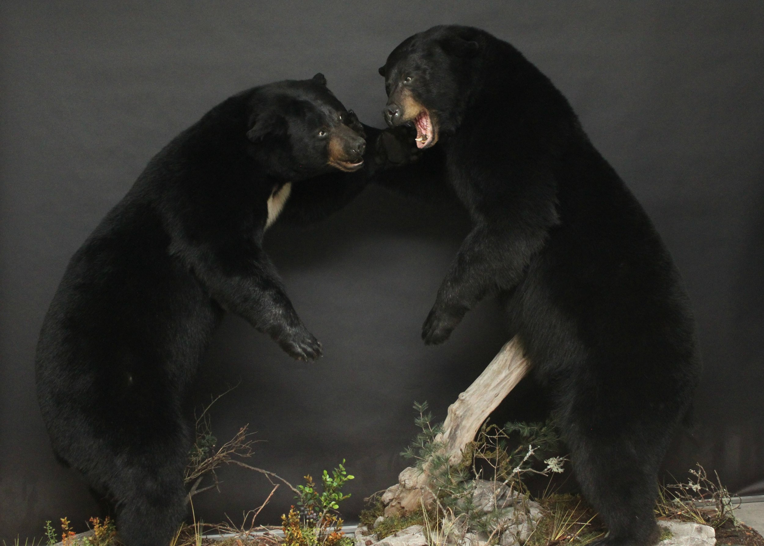 Life size fighting bears. Custom form alterations. Hidden seam in the base to allow for easy moving.  Black Bear (16)