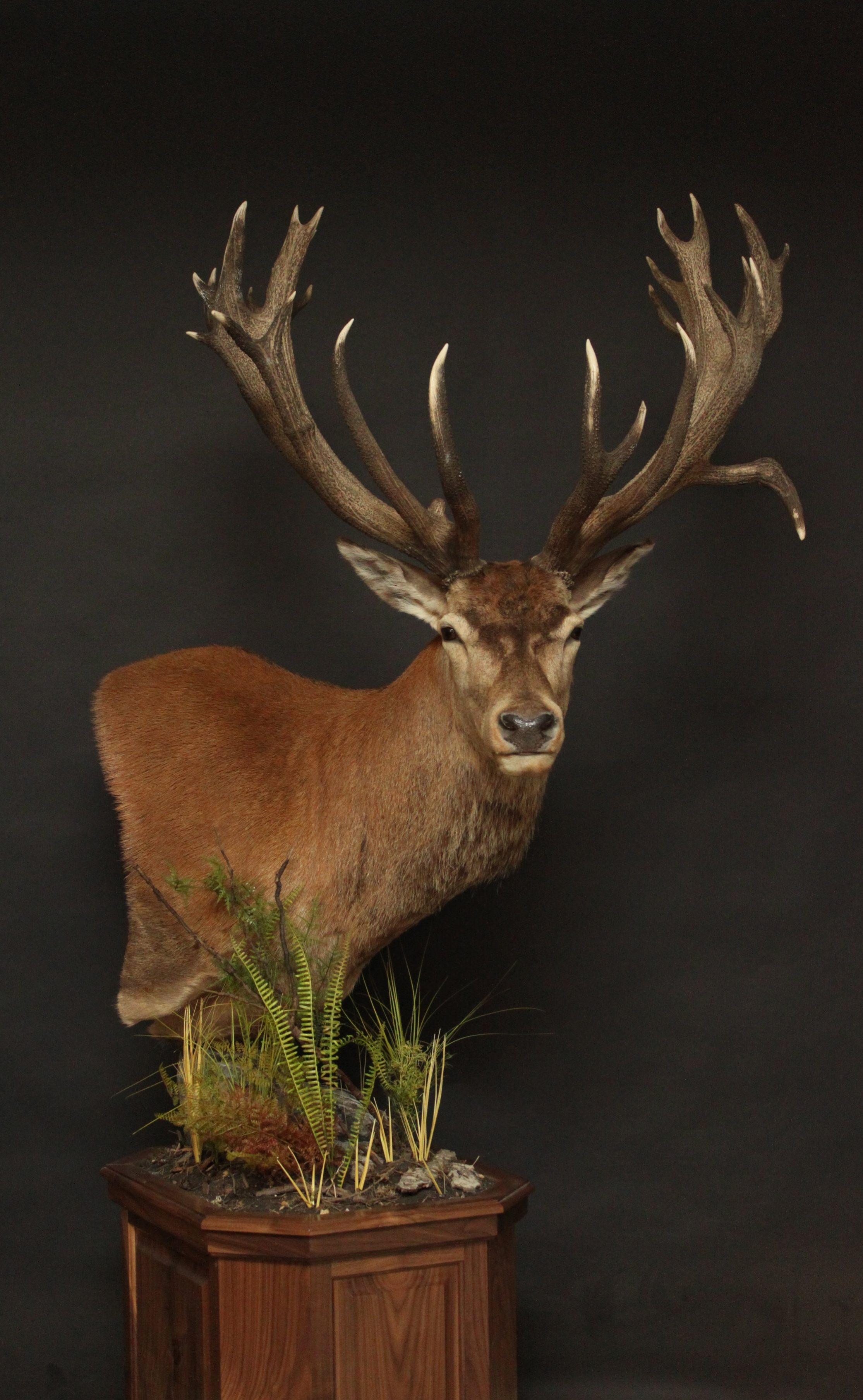 Pedestal on a Walnut Base  Red Stag (6)