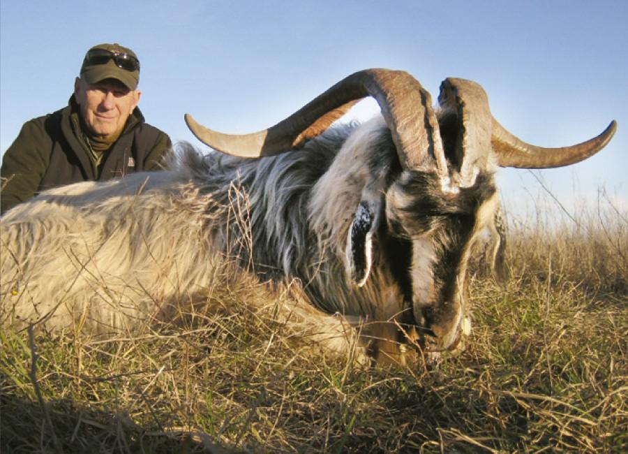 08-Wild-Goat-900x650.jpg