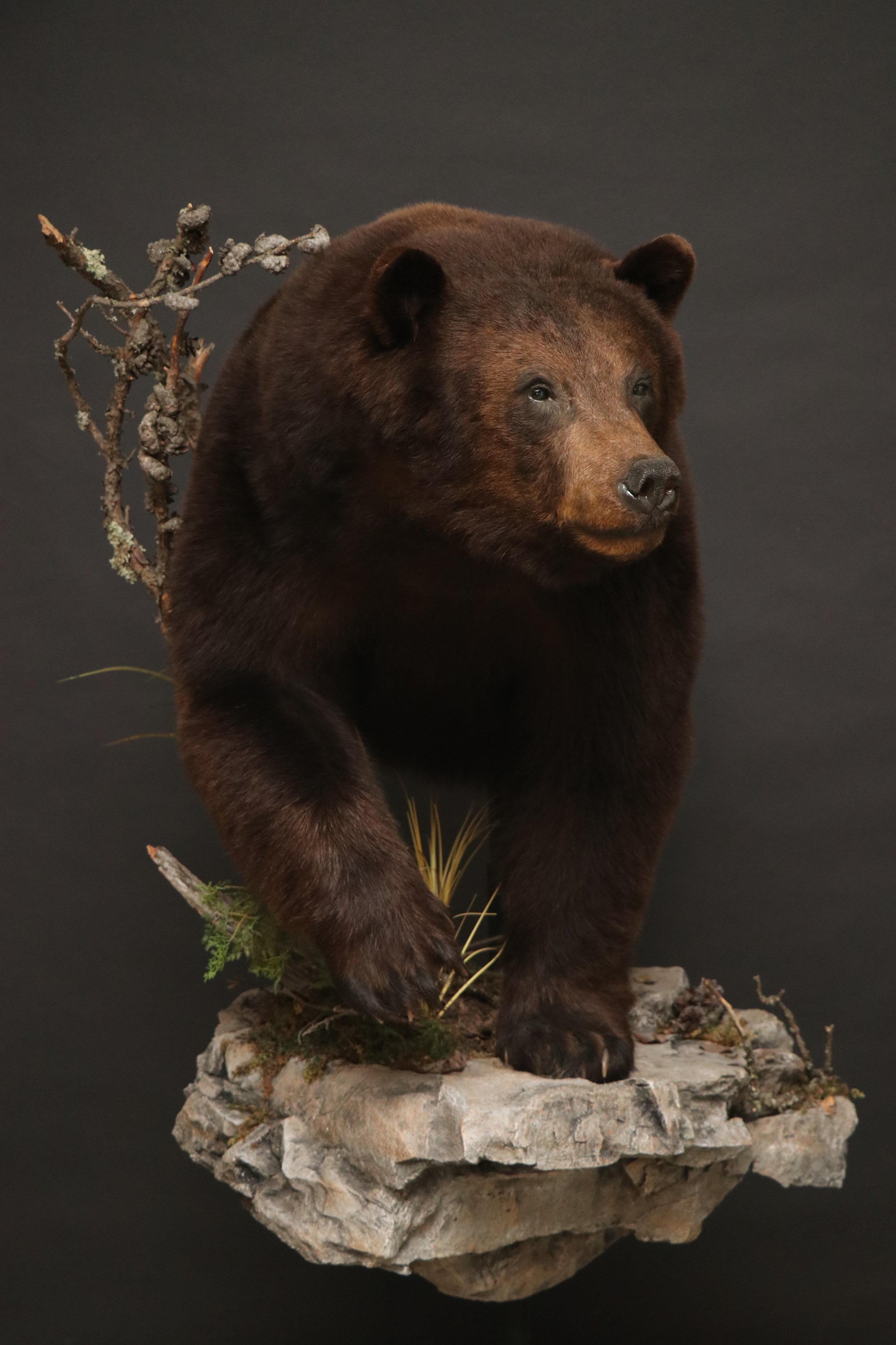 1/2 Body   Black Bear (4)