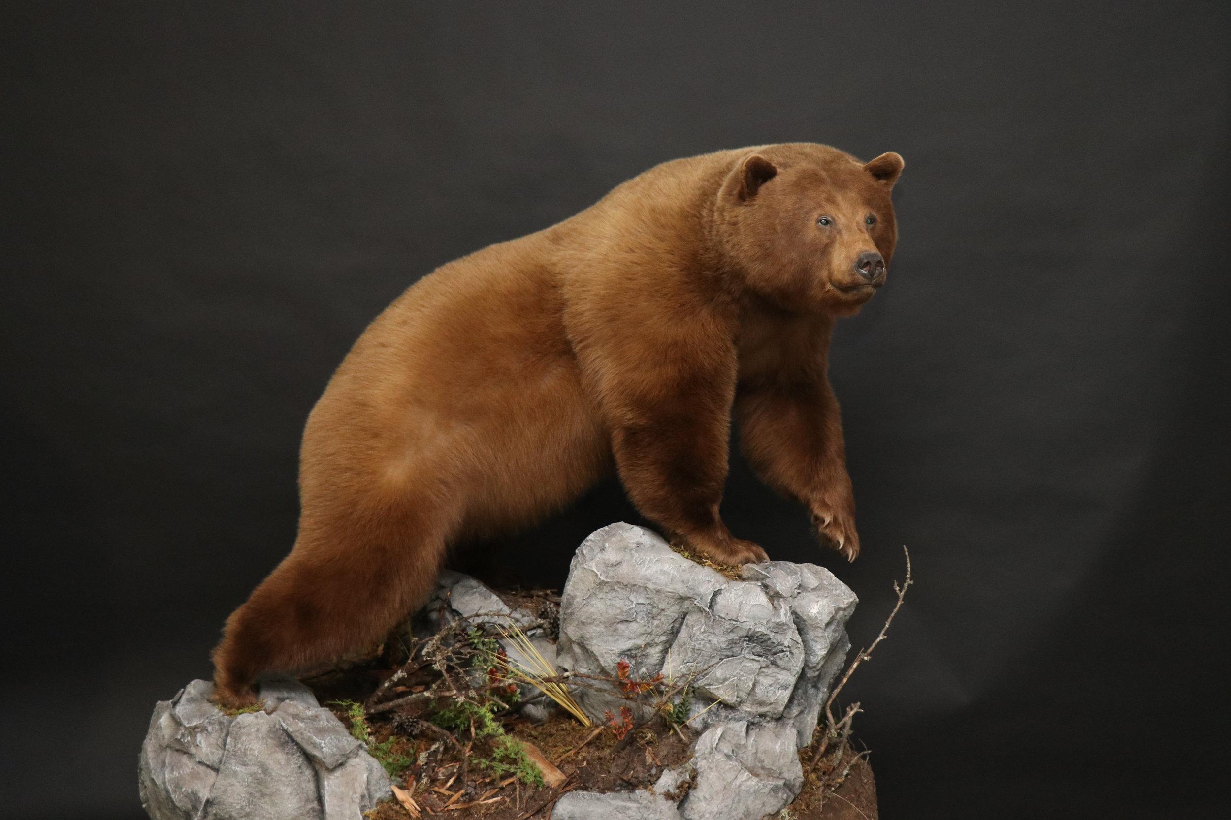 Lifesize  Black Bear 19