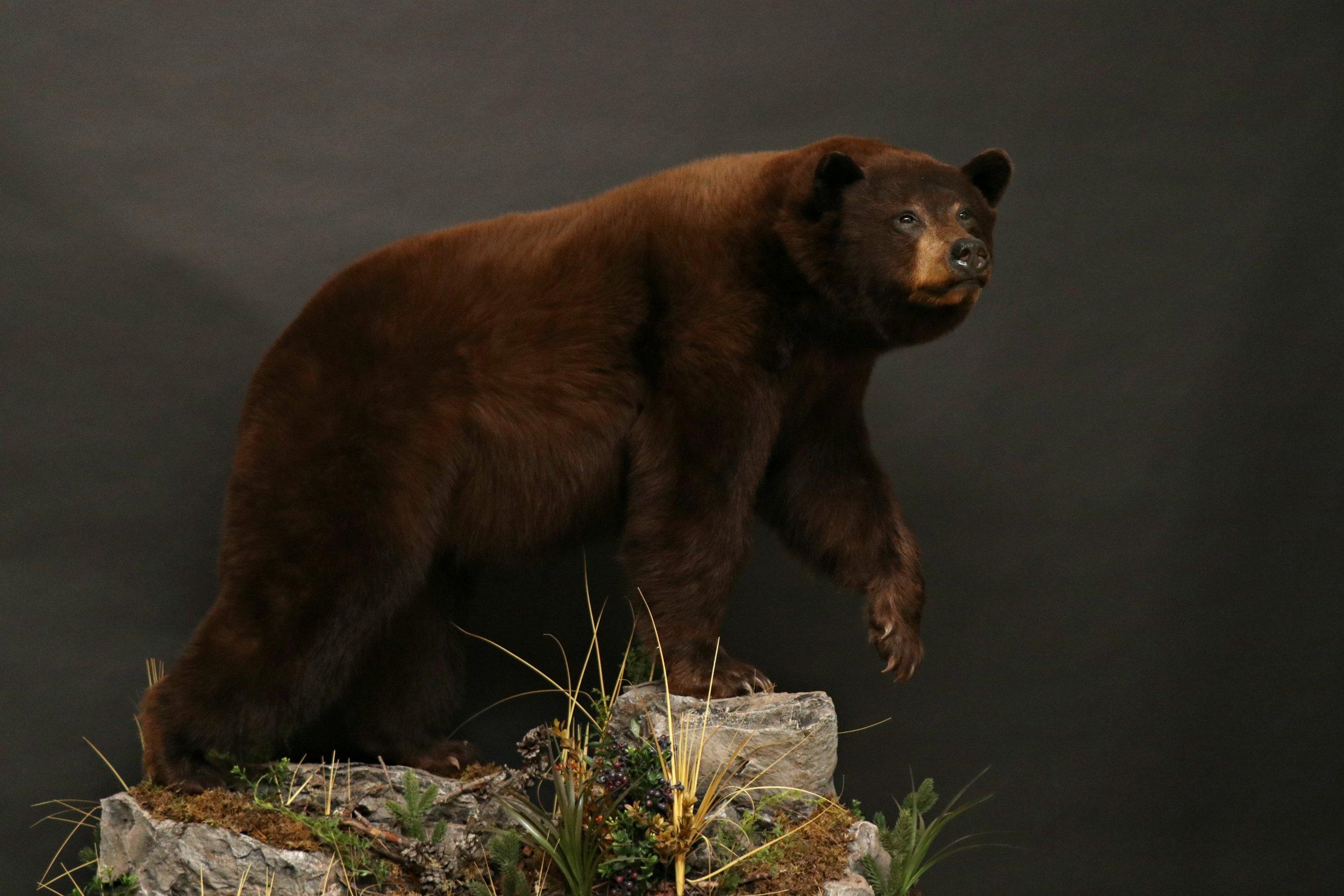 Black Bear 23