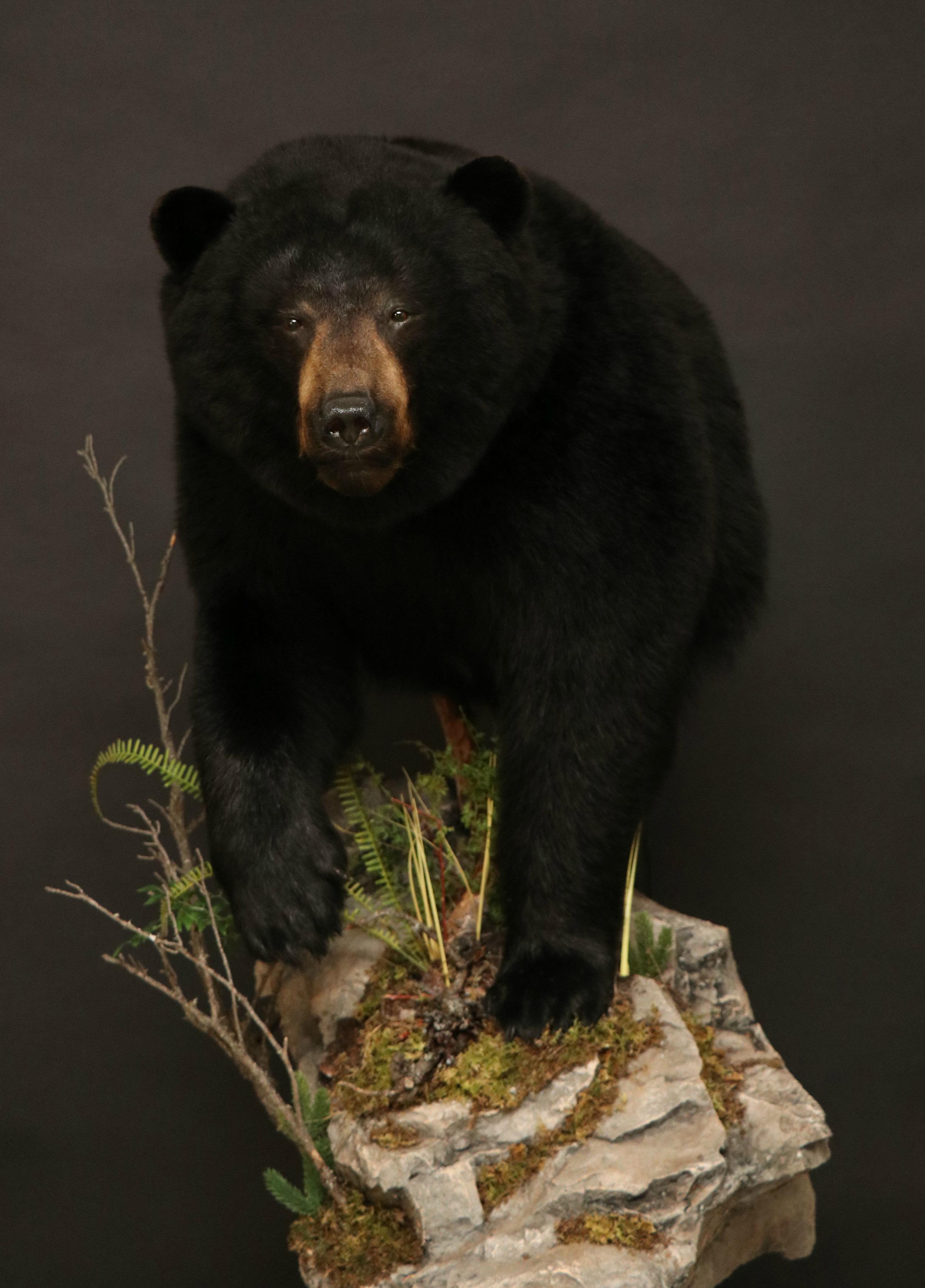 1/2 Body  Black Bear (1)