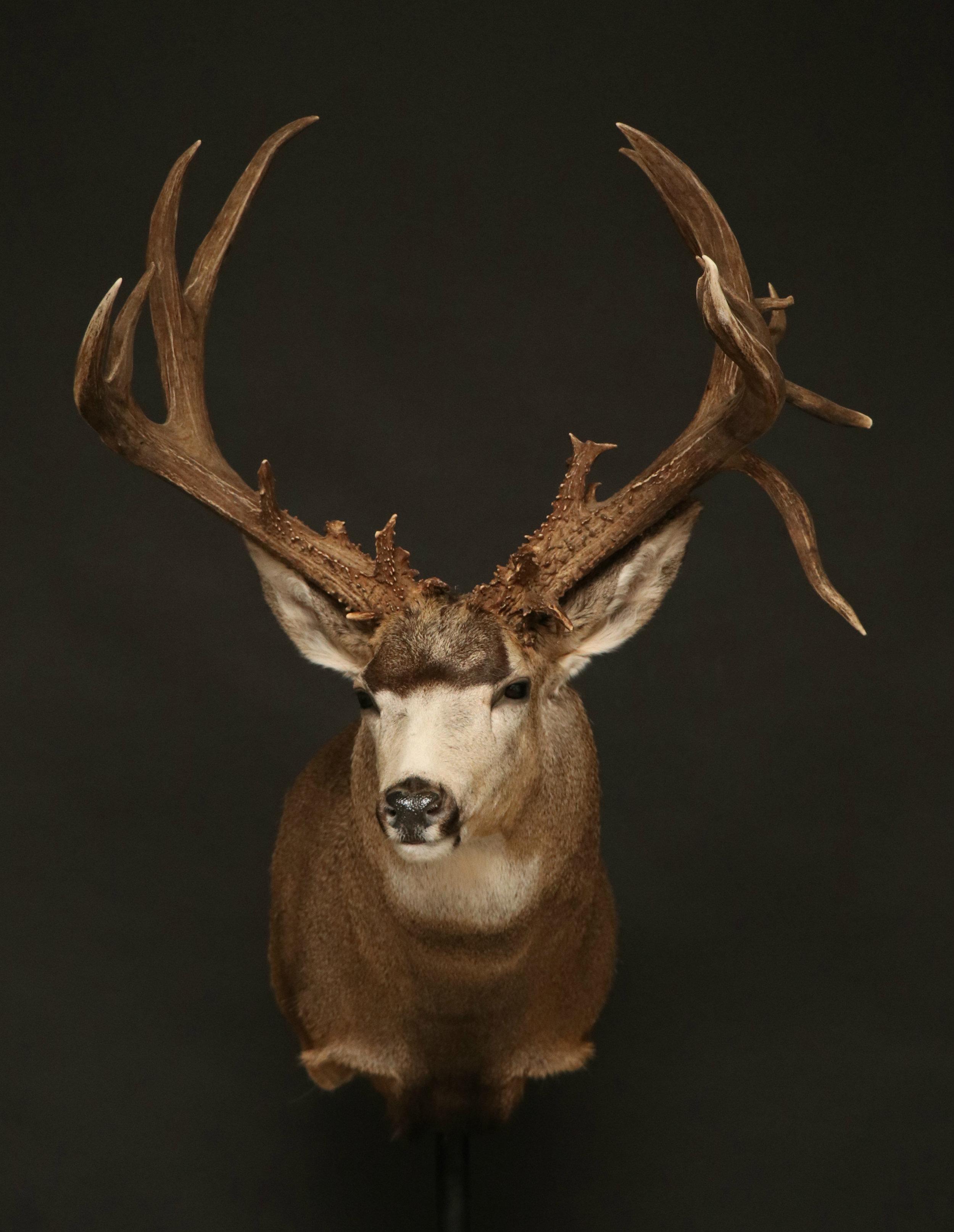 Mule Deer (30)