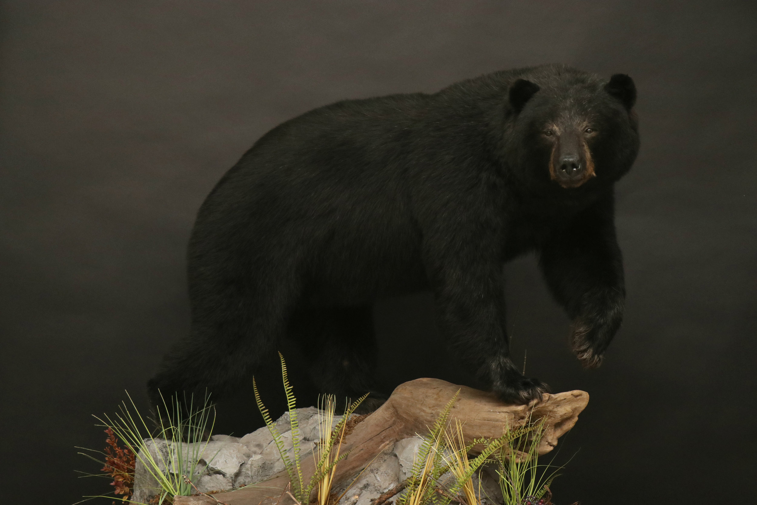 BlackBear (29)  Lifesize Black Bear