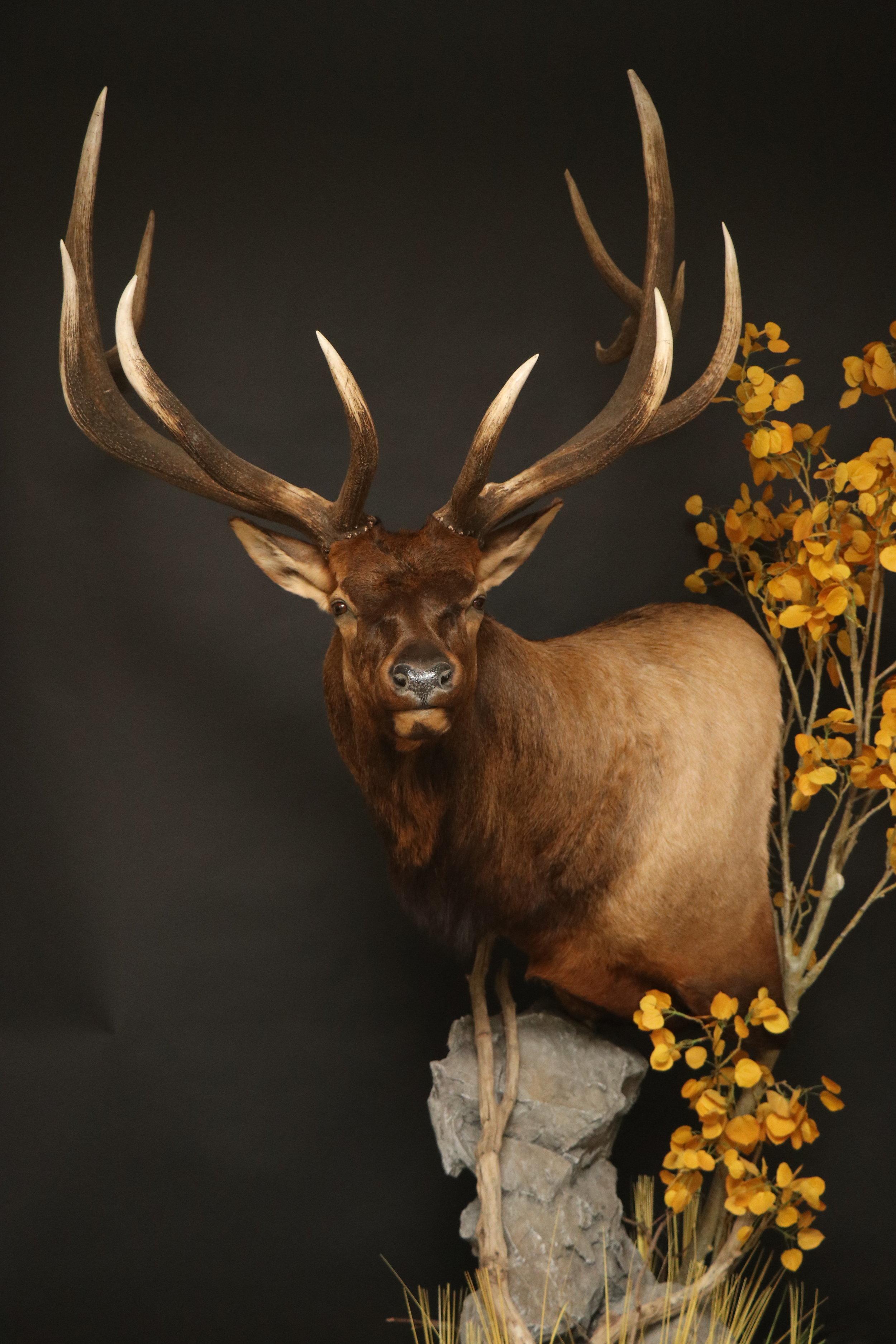Elk (10)