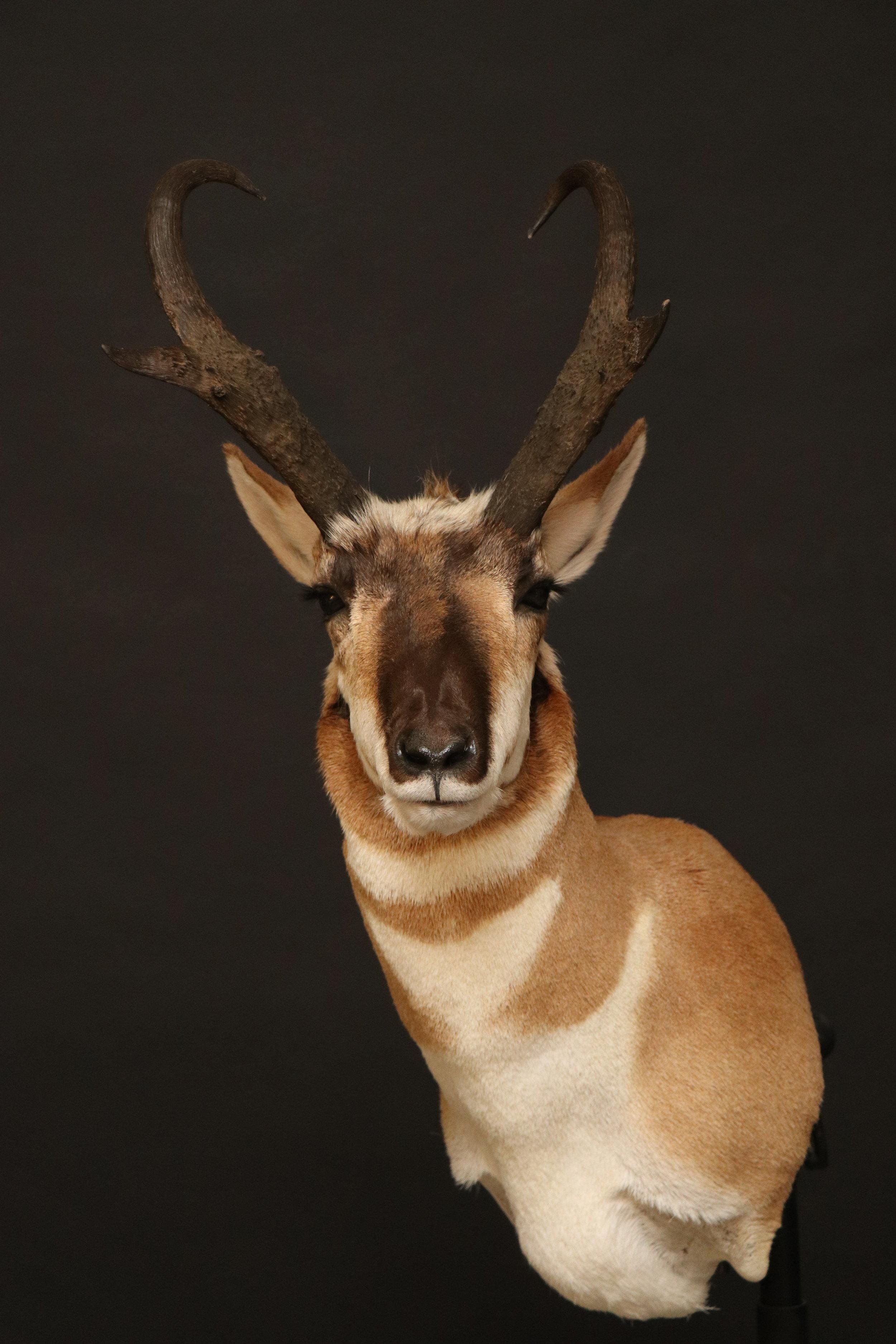 Antelope 06