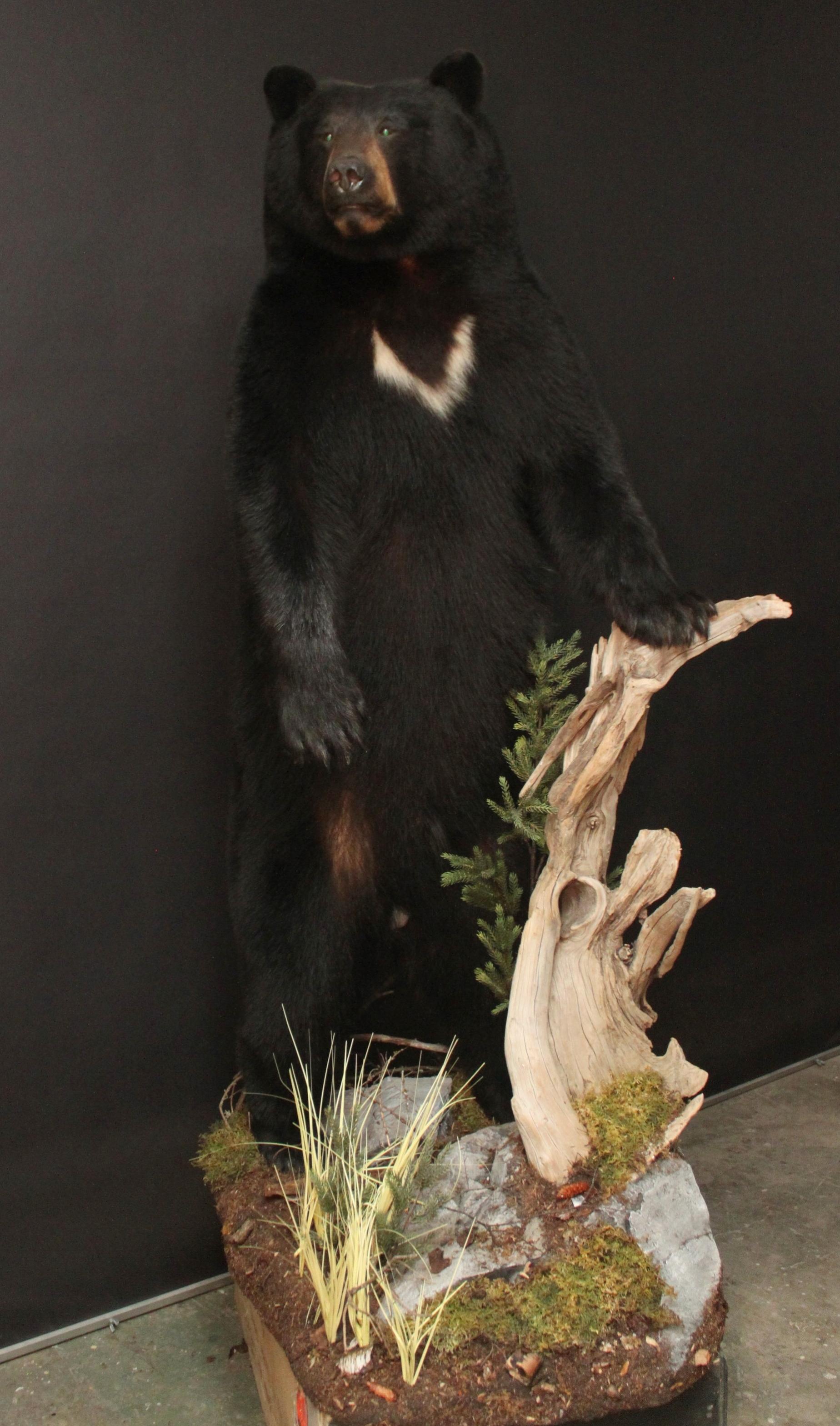 Lifesize  Black Bear (19)