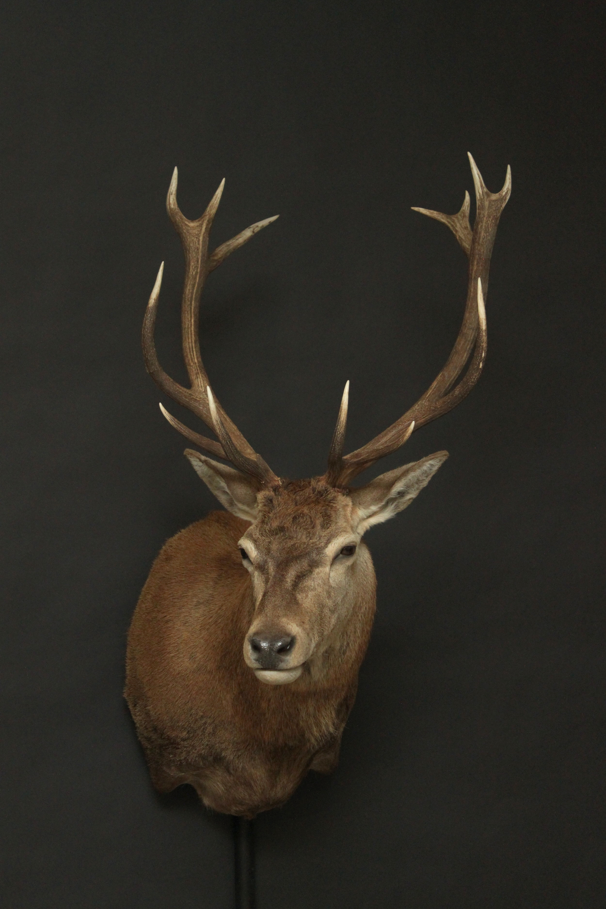 Shouldermount  Red Stag (5)
