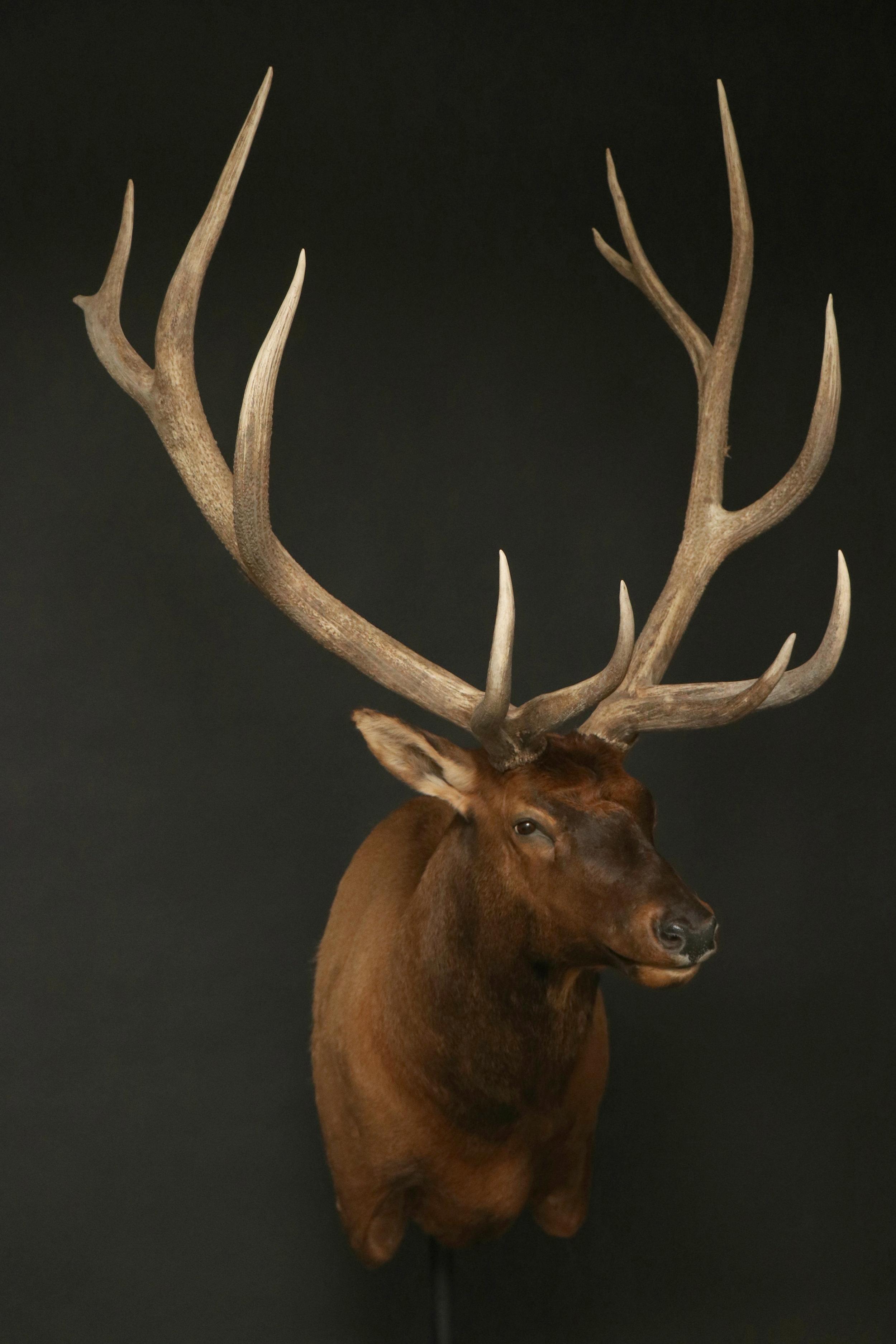 Elk 021