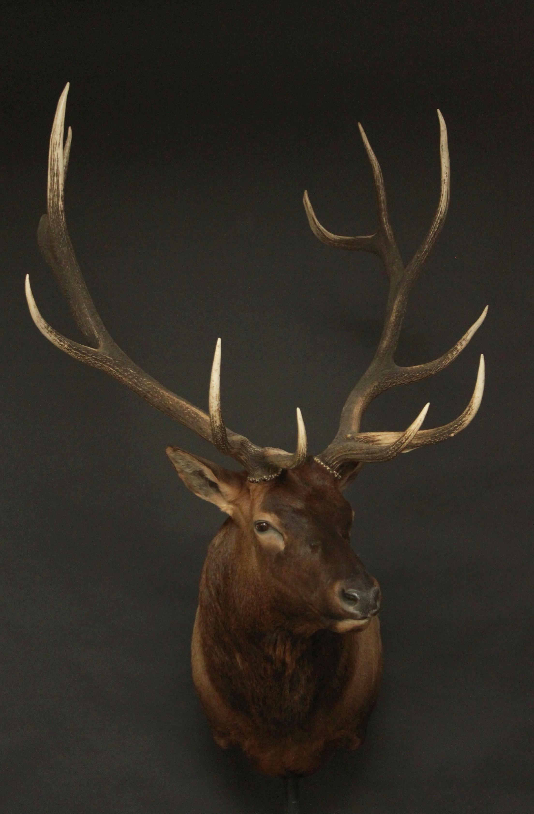 Elk 004