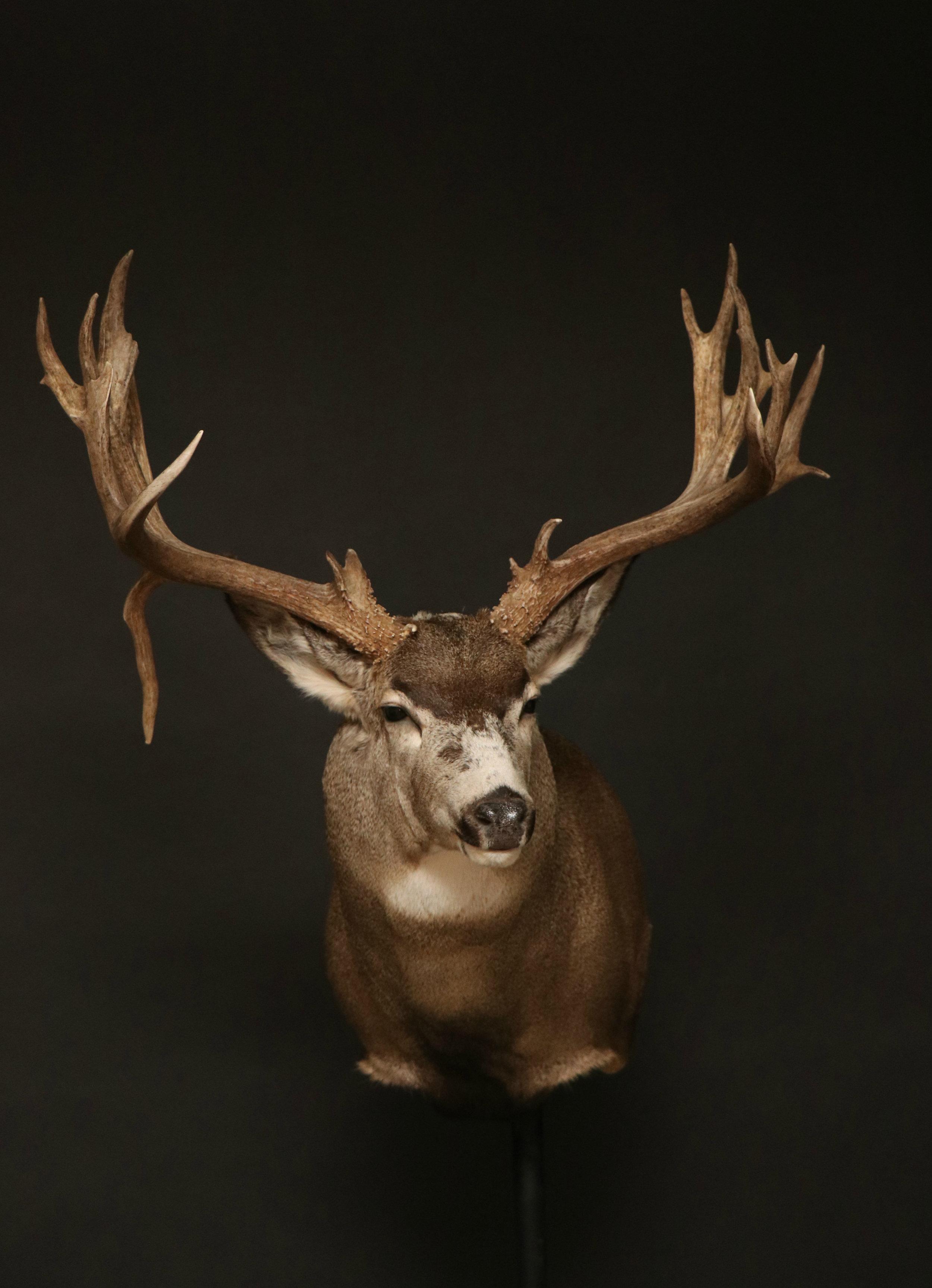 Mule (32)