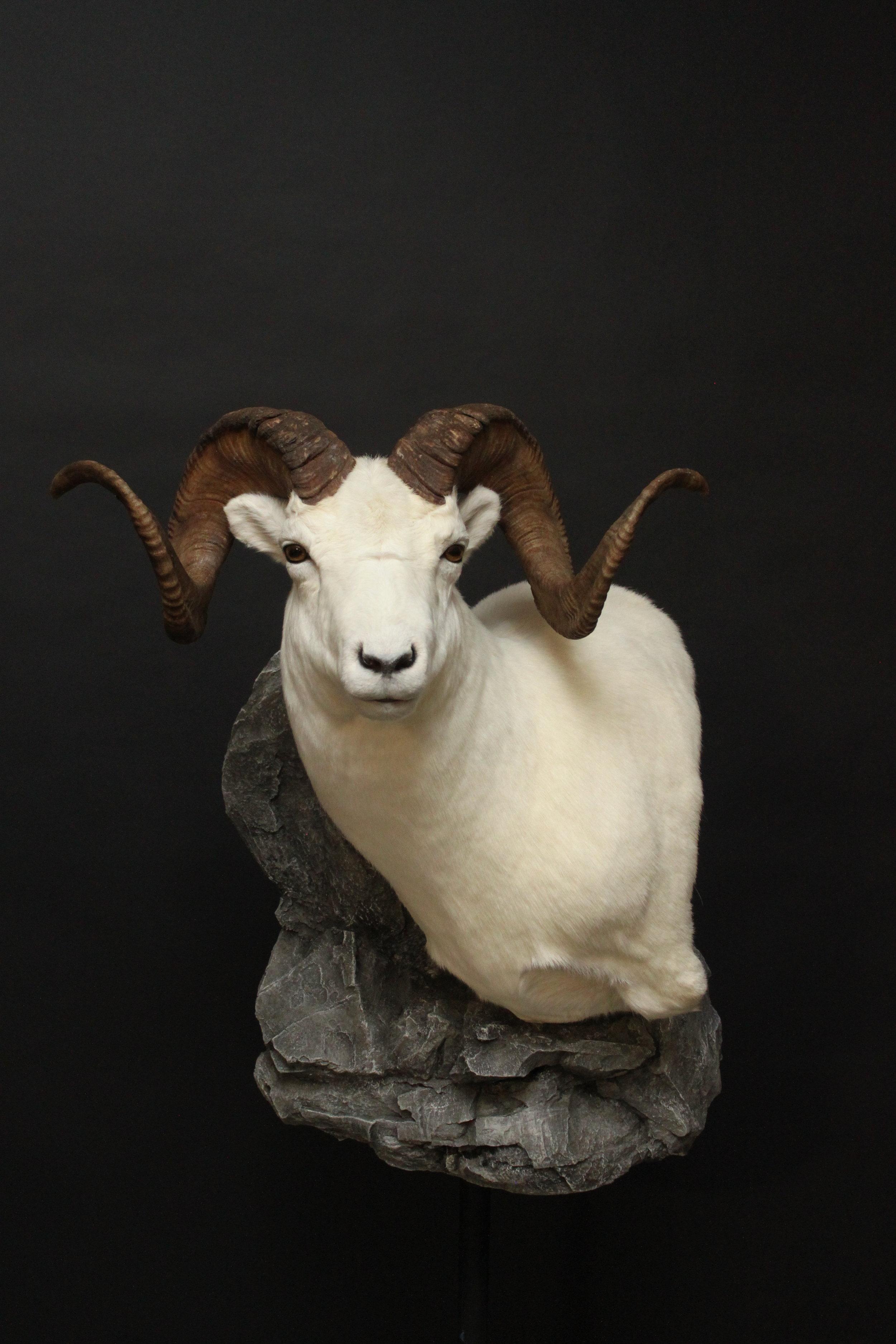 Sheep 001