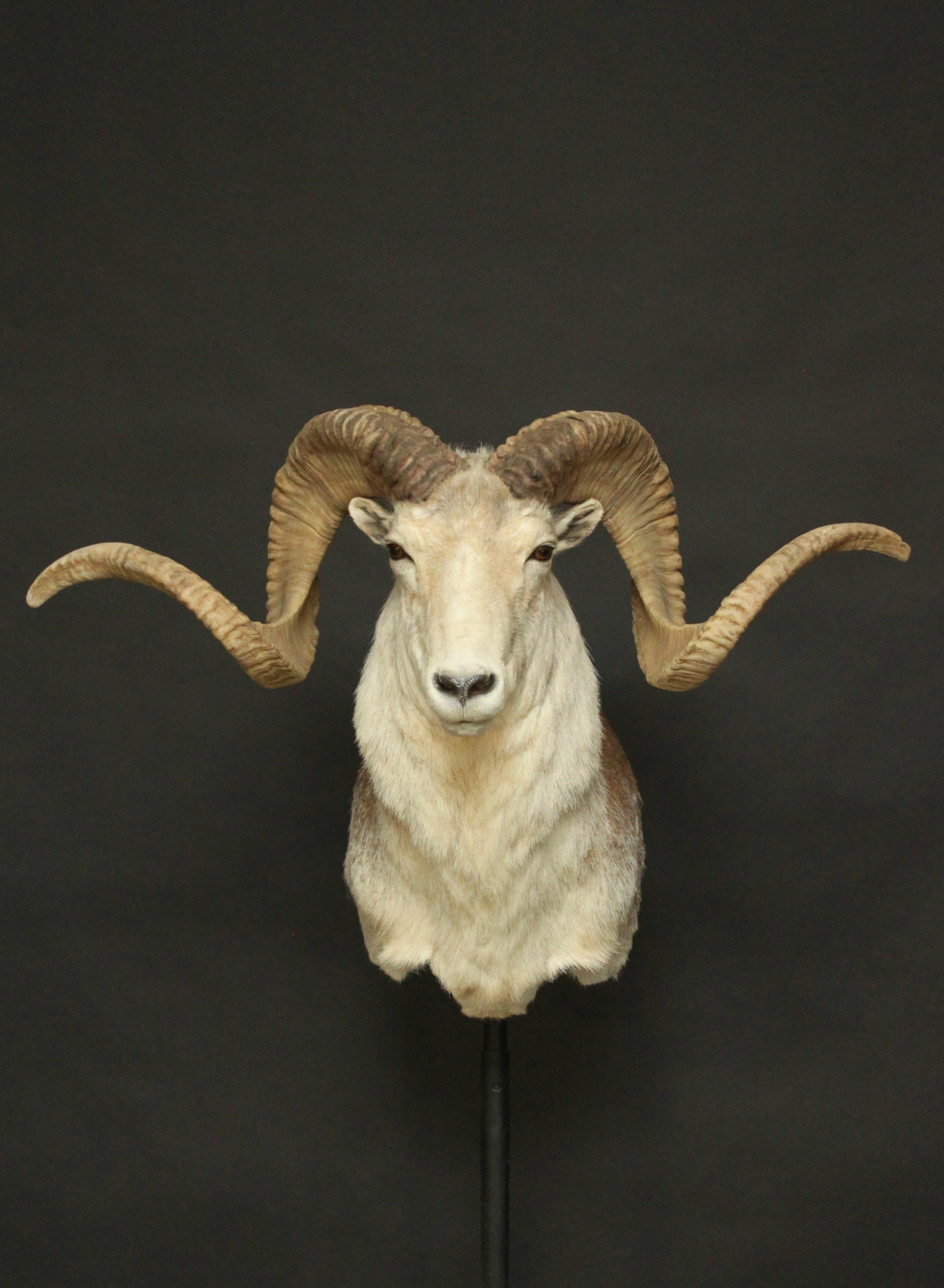 Marco Polo Sheep 1