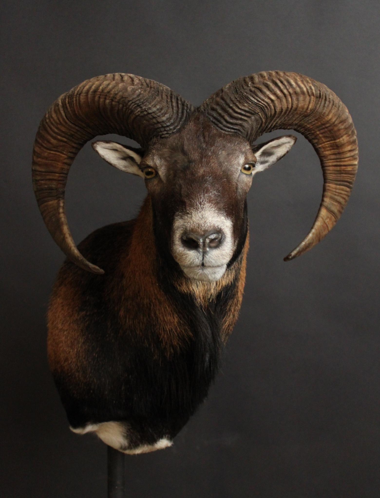 Mouflon.JPG