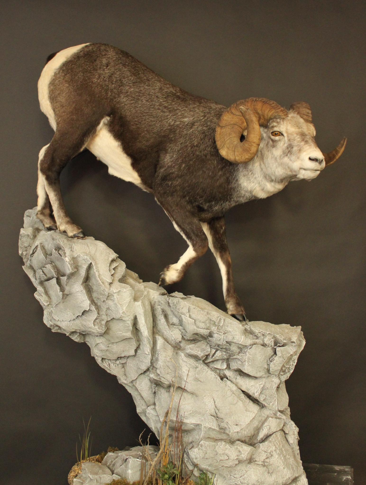 Stone Sheep 1