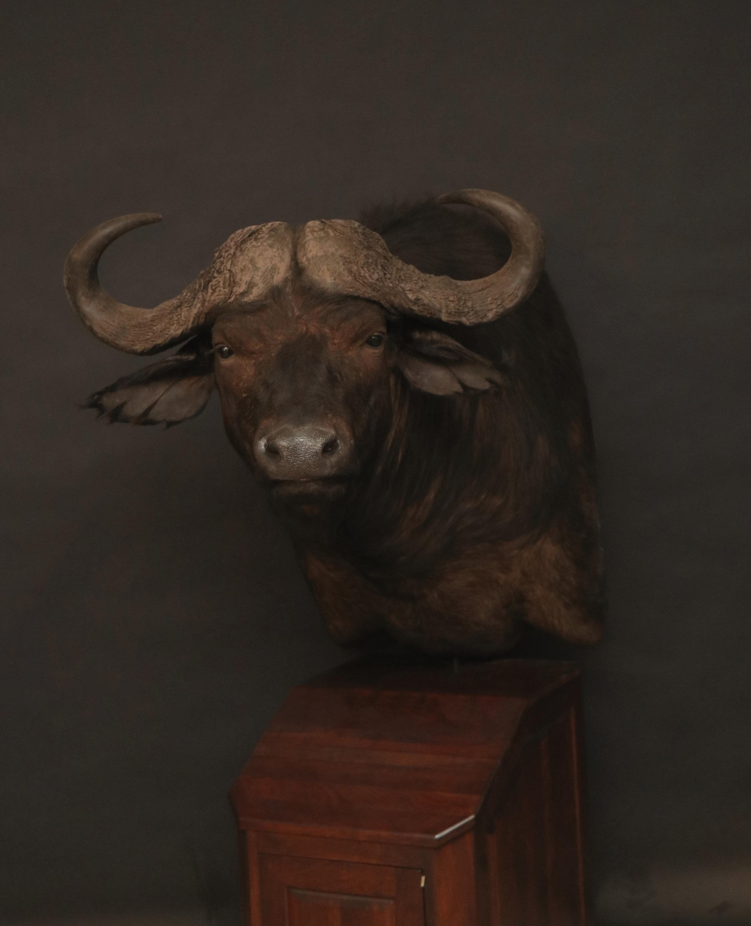 Buffalo (10)  Cape Buffalo Pedestal