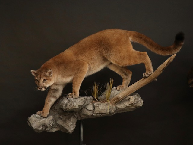 Cougar(3).jpg