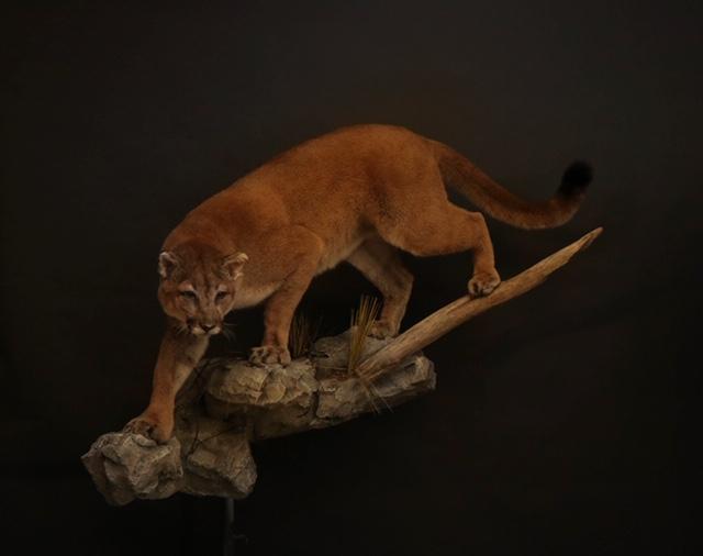 Cougar (3-2).jpg
