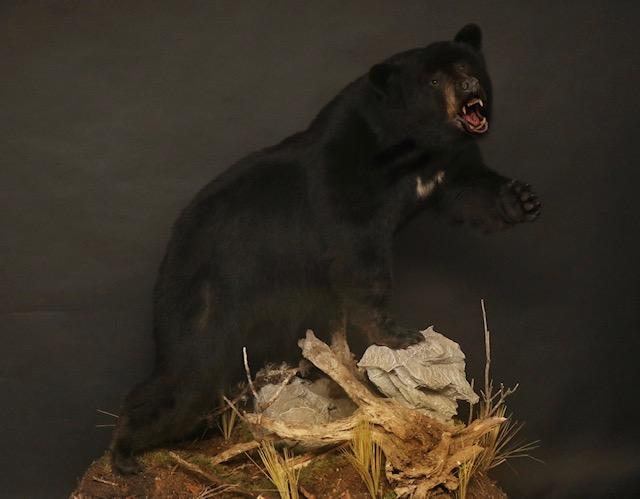 LF Black Bear 33