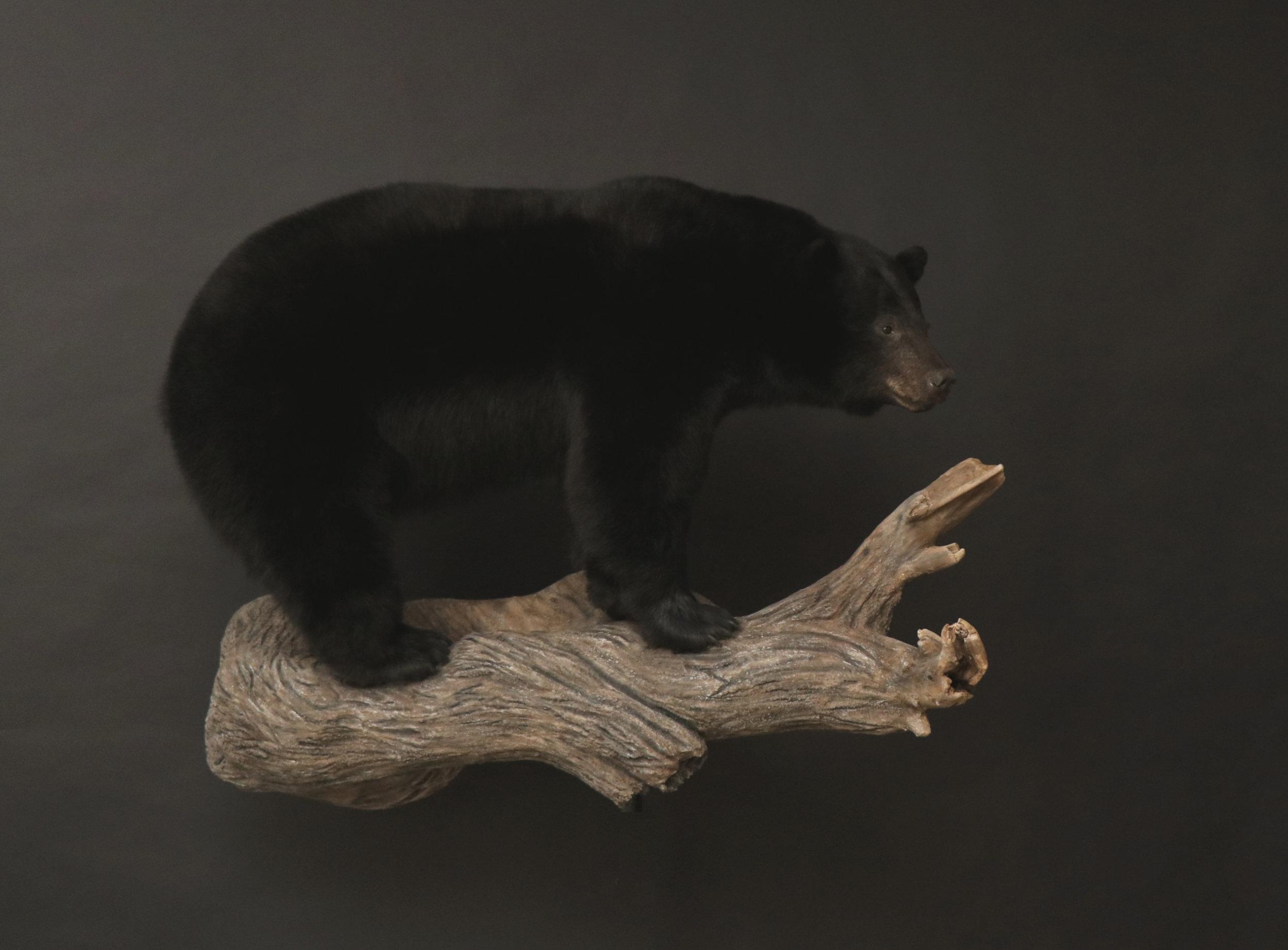 LF Black Bear 31