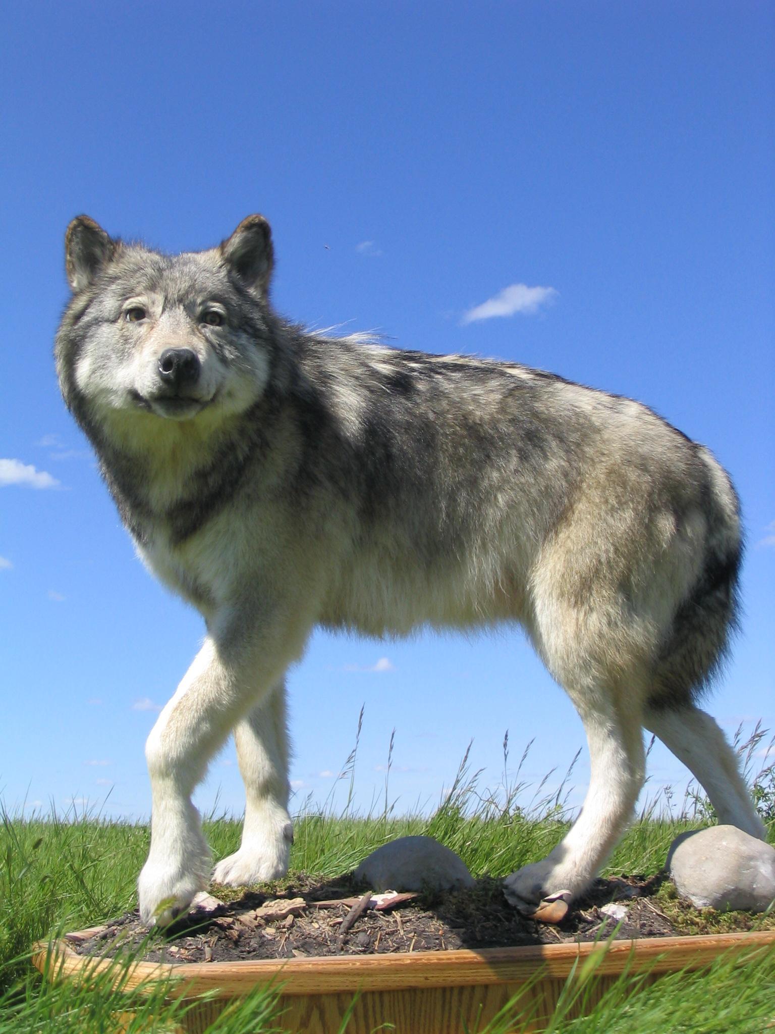 Wolf (3).jpg