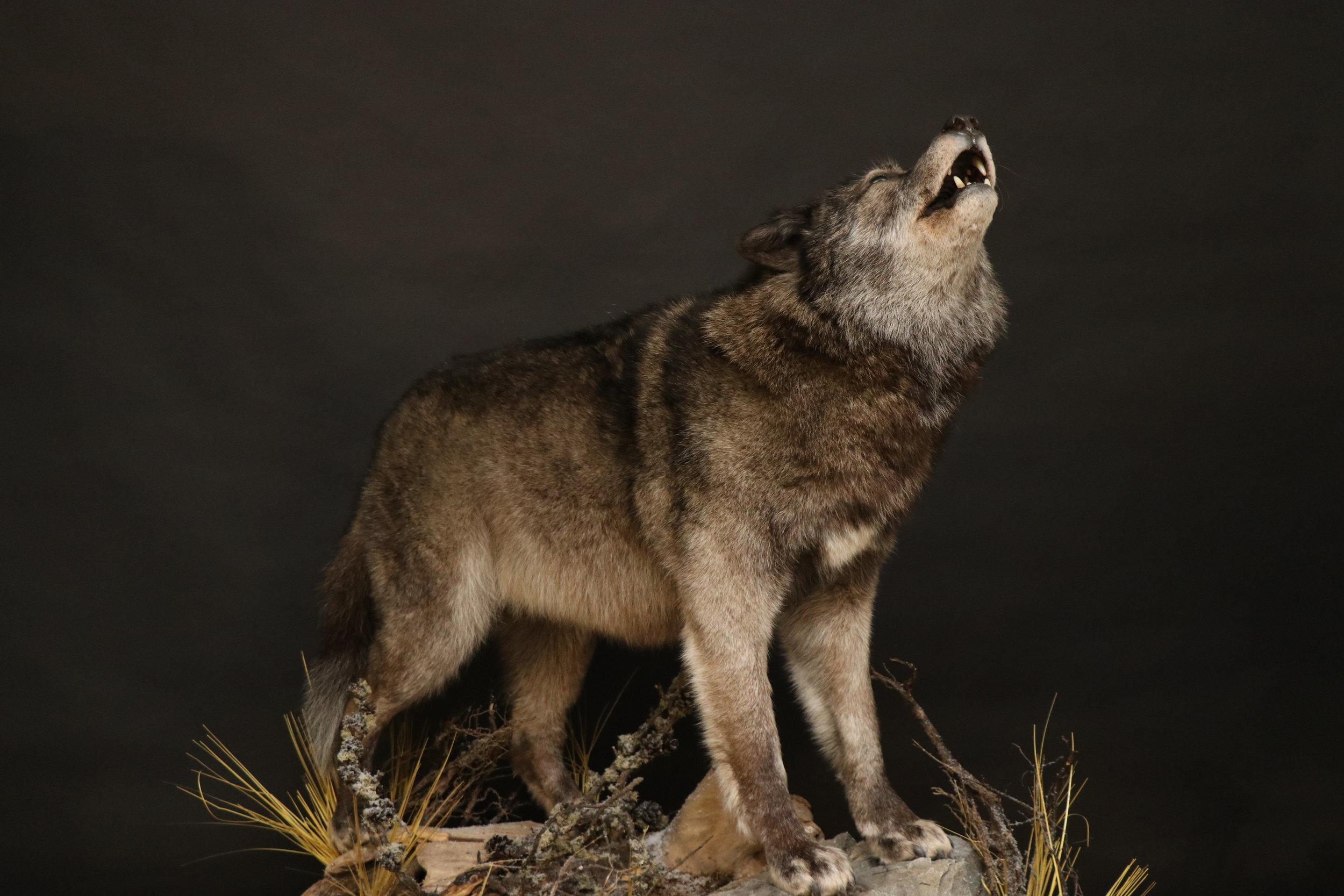 Wolf (4).JPG