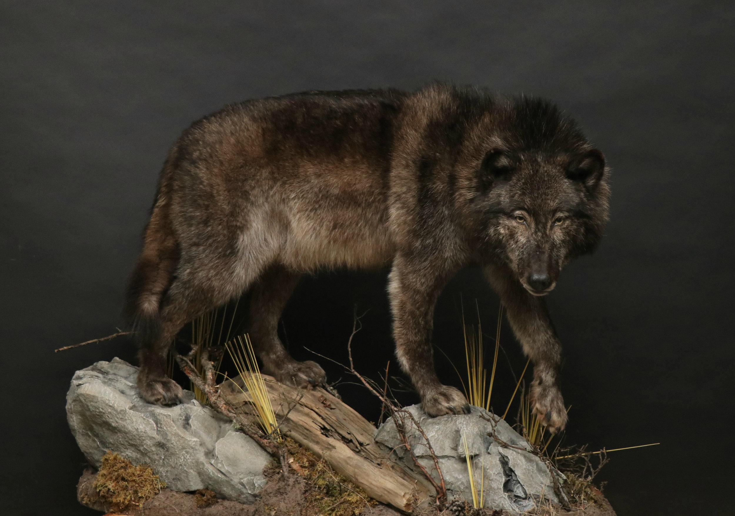 Wolf (6).jpg