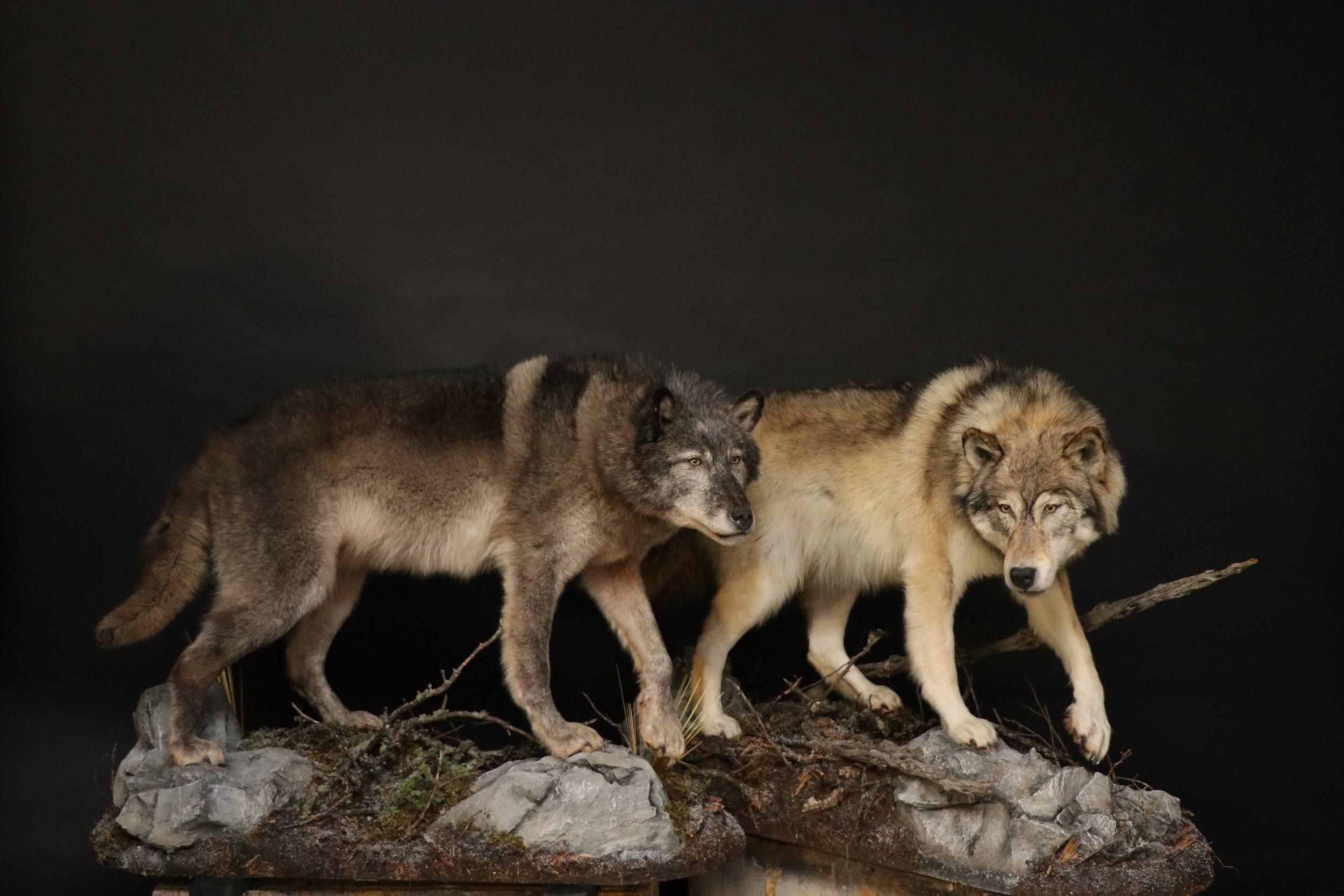 Wolf (7).JPG