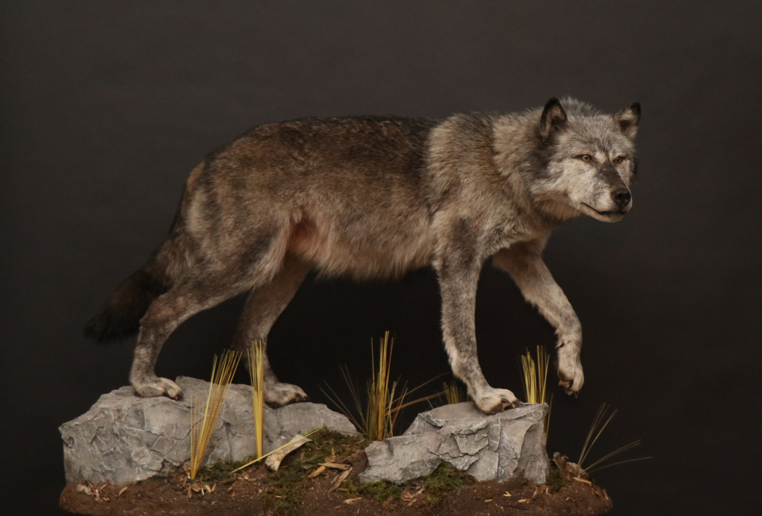 Wolf (10) Mahaffey w.jpg