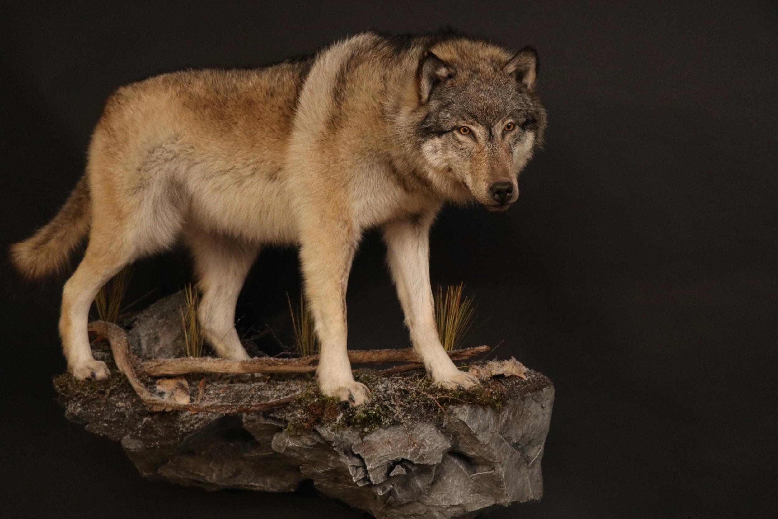 Wolf (8-1).JPG