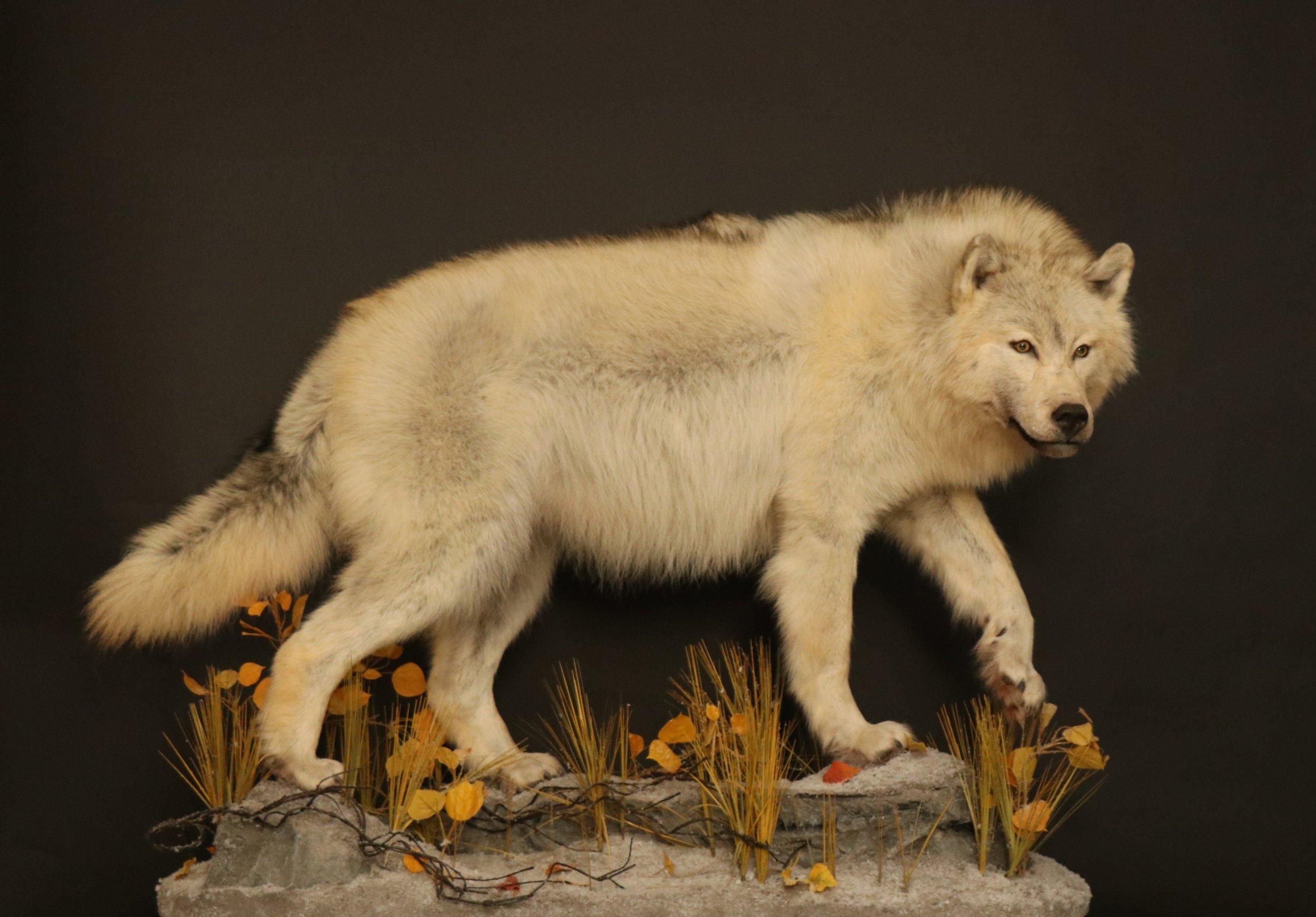 Wolf (12).jpg