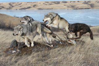 wolf222 (4).jpg