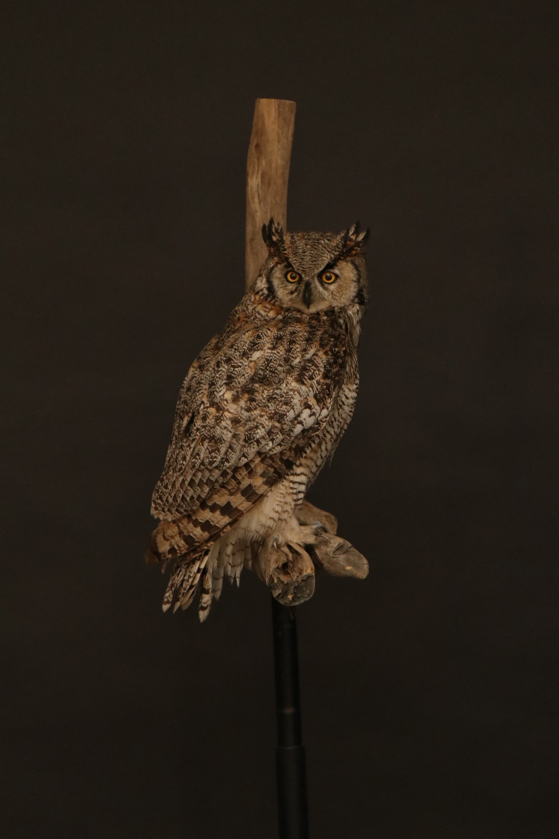 Owl 18.JPG