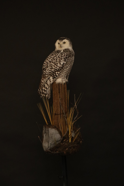 Owl 17.JPG